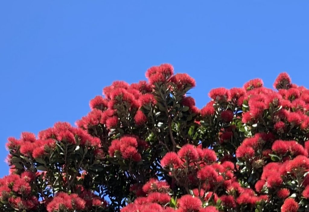 Despite the environmental emergency, I am so looking forward to pohutukawas in full bloom in New Zealand